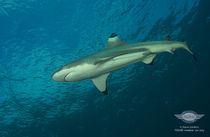 Nikumaroro Screen Saver: Sharks of Nikumaroro